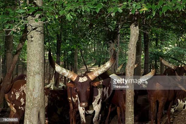 longhorn cattle - ox cart stock-fotos und bilder