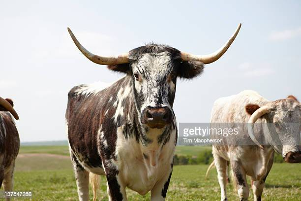 longhorn cattle walking in field - texas longhorn cattle stock photos and pictures