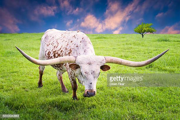 longhorn cow grazing at dawn - texas longhorn cattle stock photos and pictures