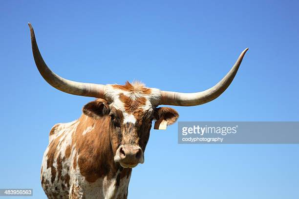 longhorn cow or bull - texas longhorn cattle stock photos and pictures