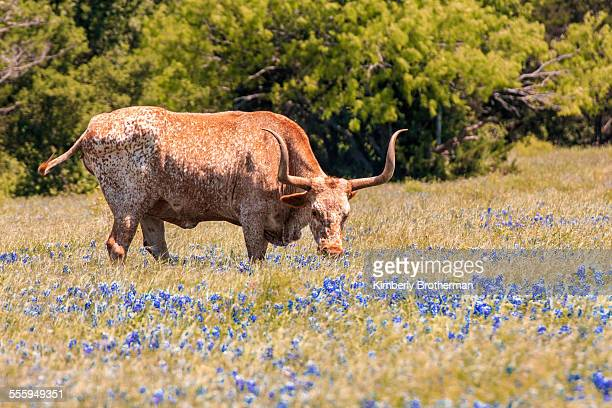 longhorn grazing in a field of bluebonnets - texas longhorn cattle stock photos and pictures