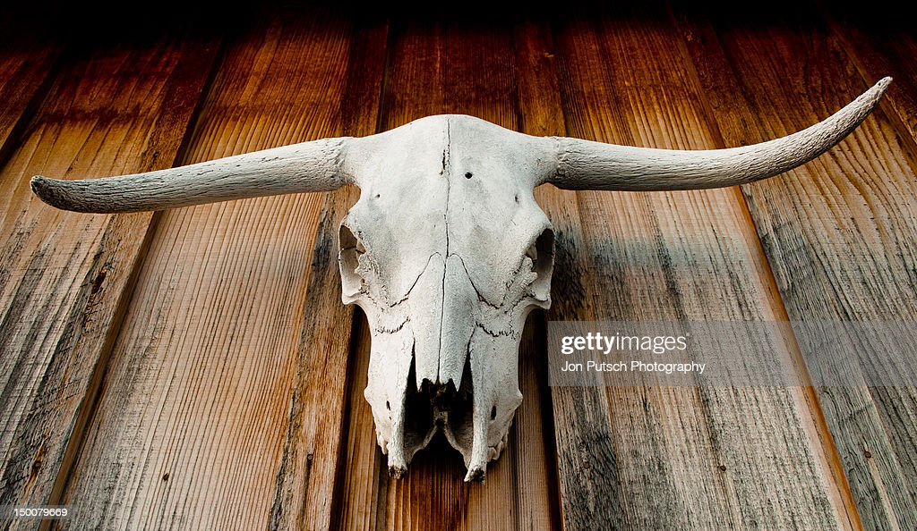Longhorn skull : Stock Photo