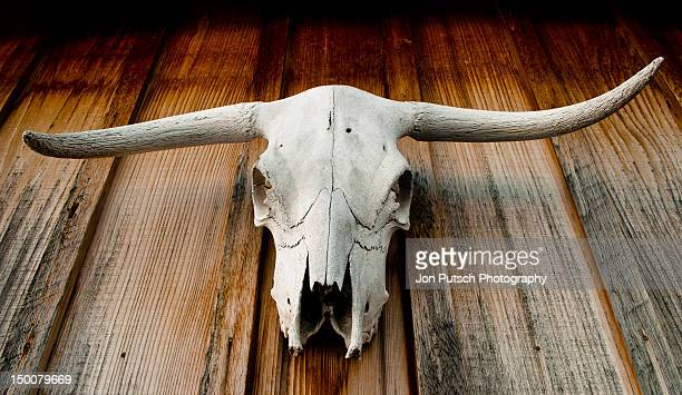 longhorn skull - texas longhorn cattle stock photos and pictures