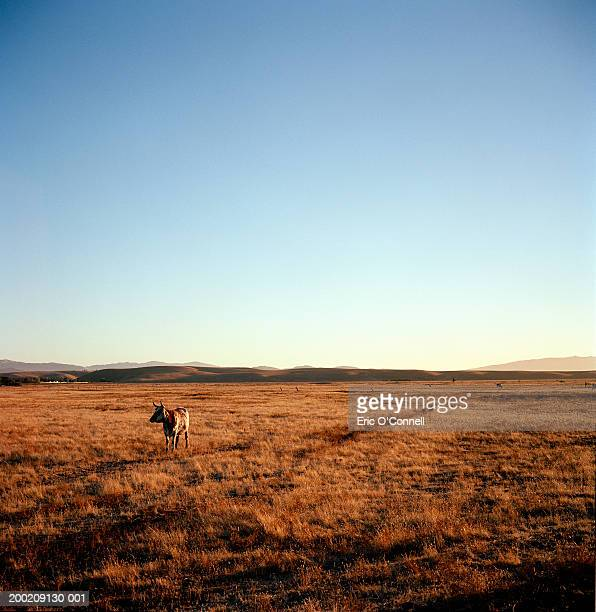 longhorn steer in field, sunrise - texas longhorns stock pictures, royalty-free photos & images