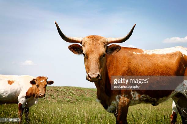 longhorn steer in grassy field under blue sky - texas longhorn cattle stock photos and pictures