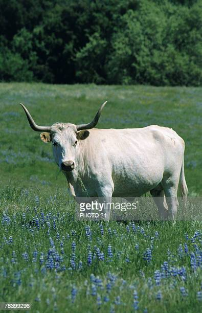 longhorn steer in meadow - texas longhorn cattle stock photos and pictures