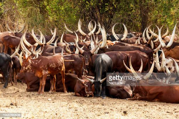 Long-Horned Ankole Cattle