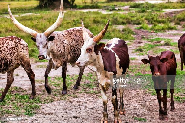 Long-Horned Ankole Cattle walking