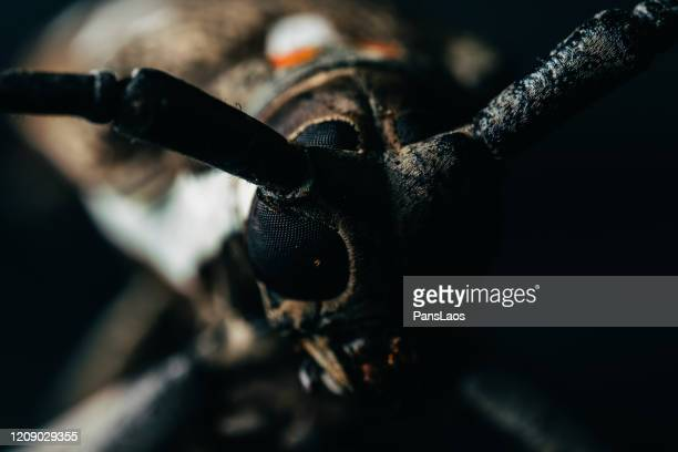 long-horned beetle portrait macro on black background - horned beetle stock pictures, royalty-free photos & images