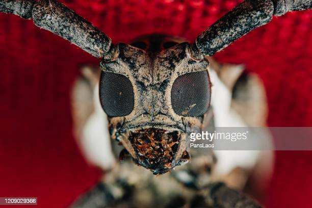 long-horned beetle portrait macro - horned beetle stock pictures, royalty-free photos & images