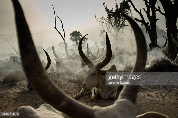 CONTENT] Longhorned cattle at a temporary Dinka settlement near Rumbek in South Sudan Under customary law cattle are used like currency to purchase...