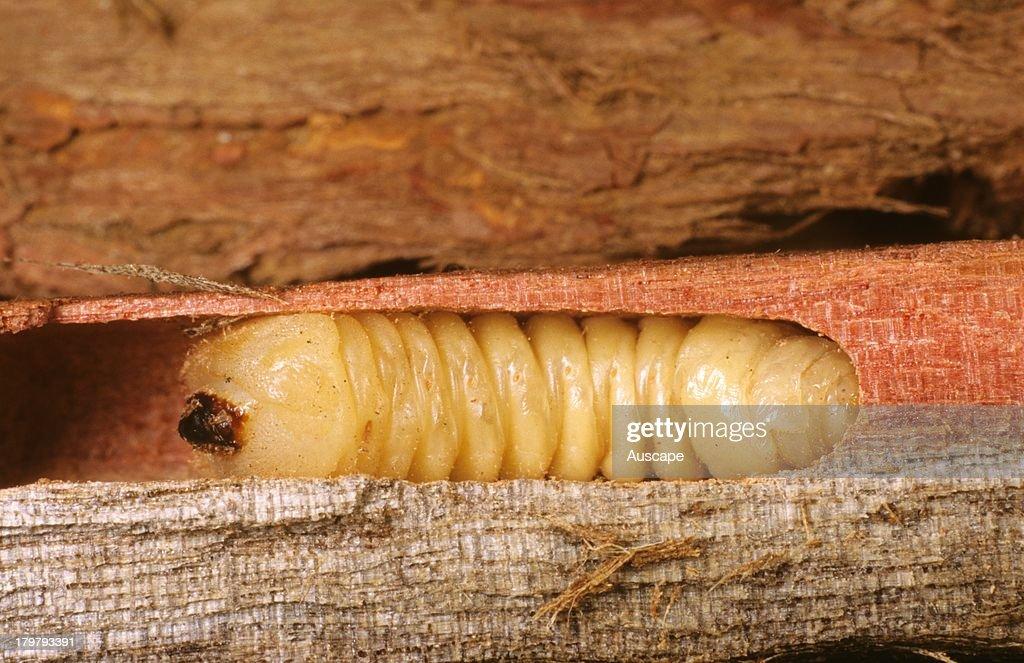 Cerambycidae  an overview  ScienceDirect Topics