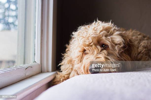 longing to go outside - goldendoodle stock-fotos und bilder