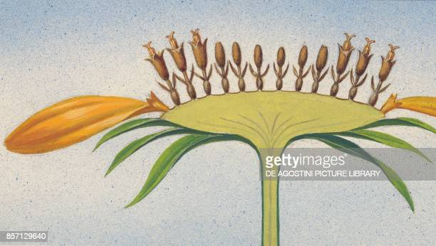 Longitudinal section of a sunflower drawing