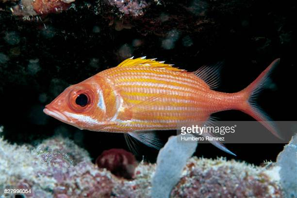 longjaw squirrelfish. - squirrel fish 個照片及圖片檔