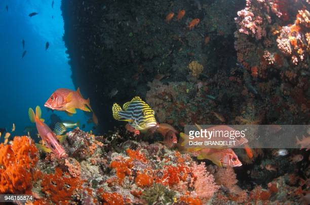 Longjawed squirrelfish and Lined sweetlips Maldives