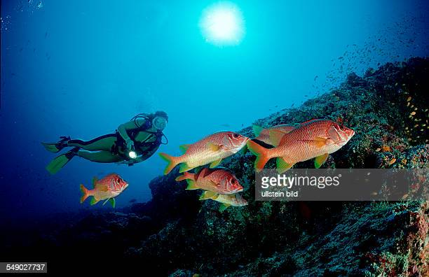 Longjawed squirrelfish and scuba diver Sargocentron spiniferum Maldives Island Indian Ocean Ari Atol Maayafushi