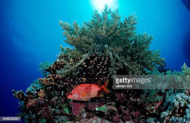 Longjawed squirrelfish and soft coral Sargocentron spiniferum Egypt Zabargad Zabarghad Red Sea