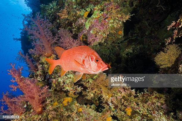 Longjawed Squirrelfish in Coral Reef Sargocentron spiniferum Elphinestone Reef Red Sea Egypt