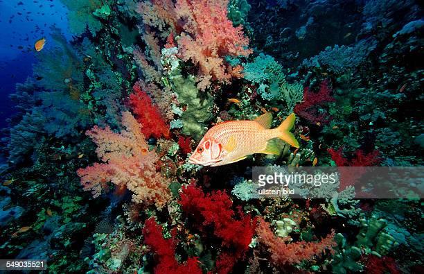 Longjawed squirrelfish Sargocentron spiniferum Egypt Africa Sinai Sharm el Sheik Red Sea