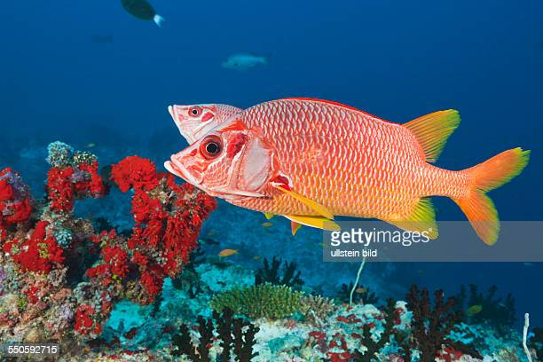 Longjawed Squirrelfish Sargocentron spiniferum Felidhu Atoll Maldives