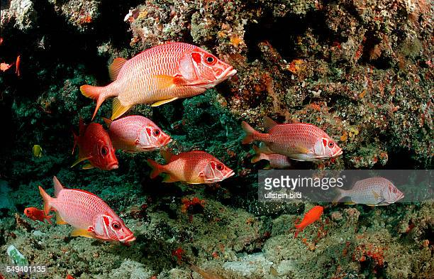Longjawed squirrelfish Sargocentron spiniferum Maldives Island Indian Ocean Ari Atol