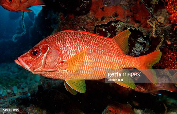 Longjawed squirrelfish Sargocentron spiniferum Maldives Islands Indian ocean Ari Atol Atoll