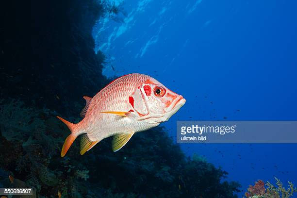 Longjawed Squirrelfish Sargocentron spiniferum St Johns Red Sea Egypt