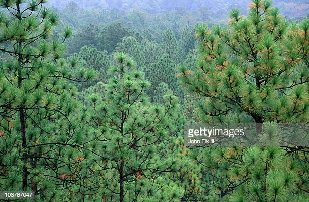 longleaf pine forest. - national forest stock pictures, royalty-free photos & images