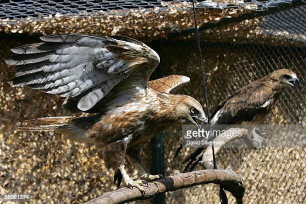 Longlegged Buzzard spreads its wings as it recuperates from its injuries alongside a Black Kite at the Wild Animal Clinic October 24 2005 in the...