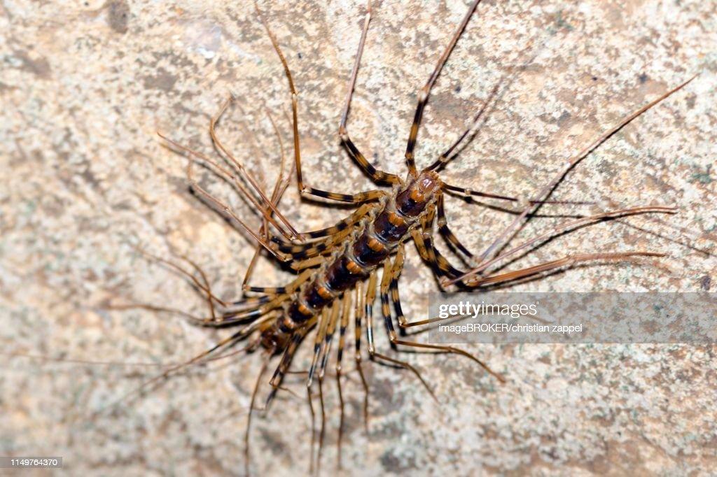 Longlegged Centipede Gomantong Cave Sabah Borneo Malaysia High-Res ...