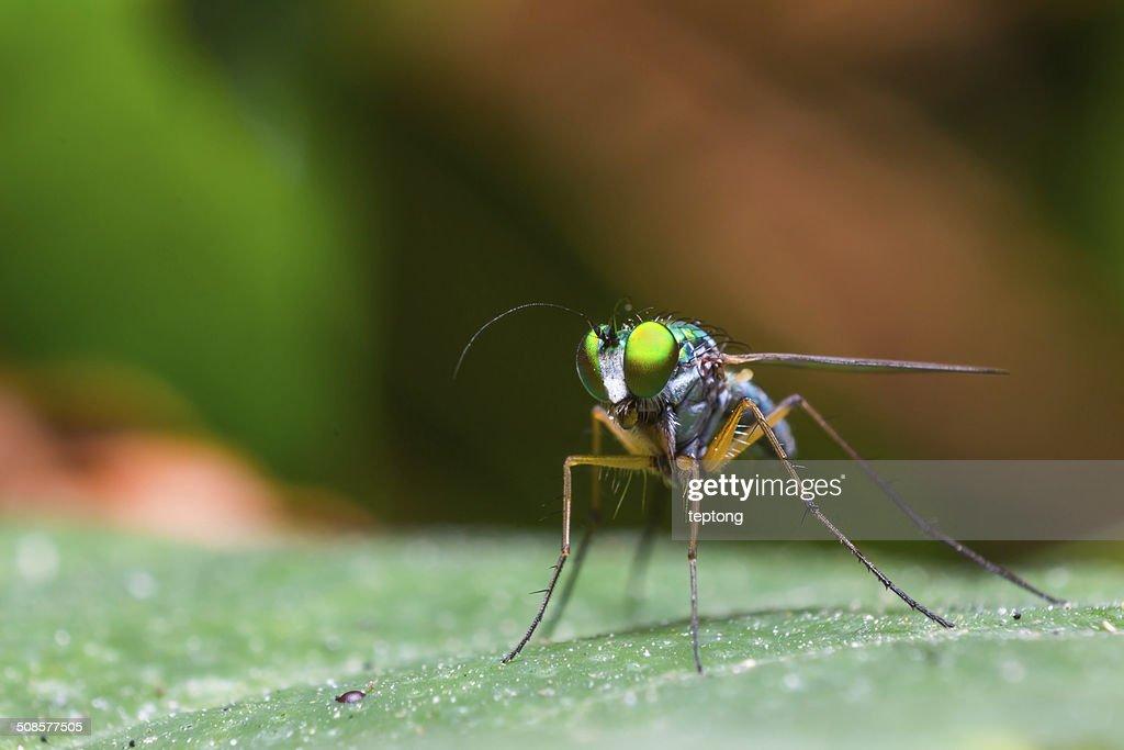 Long-legged fly : Stock Photo