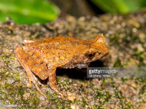 long-legged horned frog - shah alam stock photos and pictures