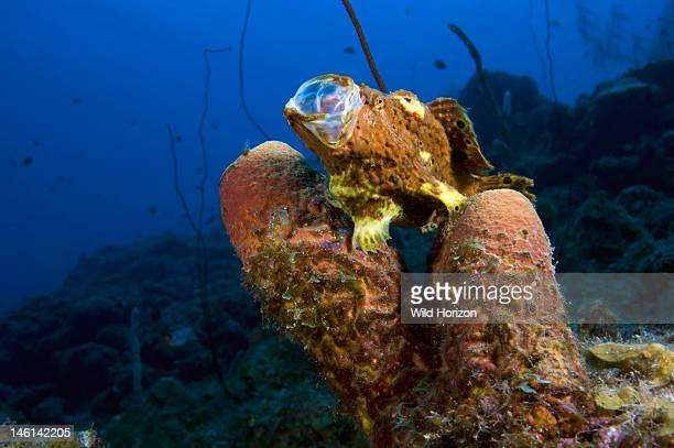 Longlure frogfish with extended mouth on brown tube sponge Curacao Netherlands Antilles