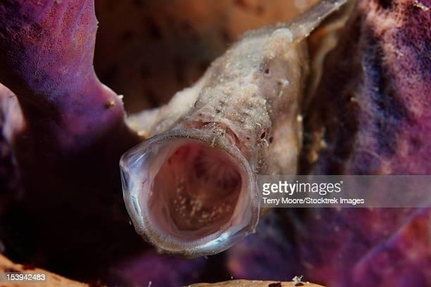 longlure frogfish yawning, bonaire, caribbean netherlands. - アンコウ ストックフォトと画像