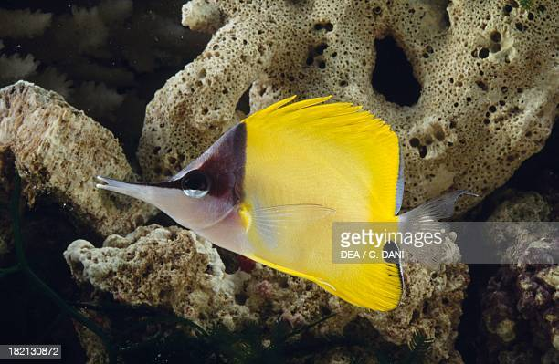 Longnose butterflyfish or Big longnose butterflyfish Chaetodontidae in aquarium