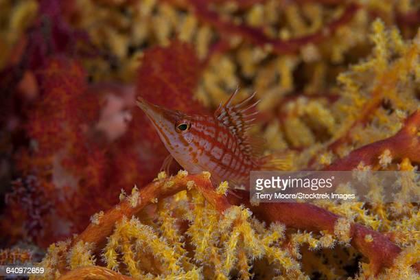 Longnose hawkfish on soft coral, Fiji.