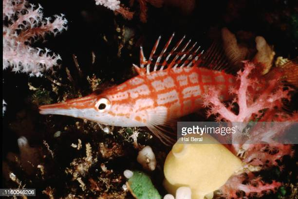 longnose hawkfish - hawkfish stock pictures, royalty-free photos & images