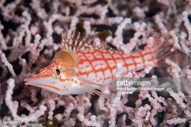 longnose hawkfish with isopod in komodo, indonesia. - hawkfish stock pictures, royalty-free photos & images