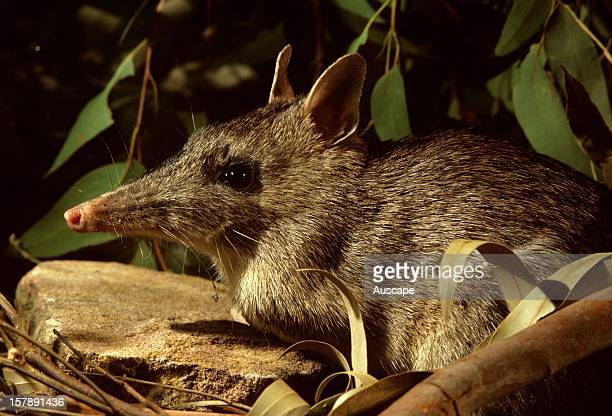 Long-nosed bandicoot . Showing long snout. Sydney, New South Wales, Australia.