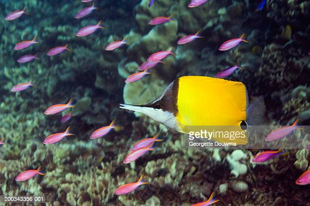Long-nosed butterflyfish and purple queen anthias (Digital Composite)