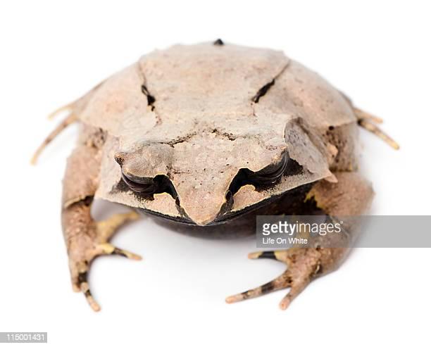 Long-nosed Horned Frog - Megophrys nasuta