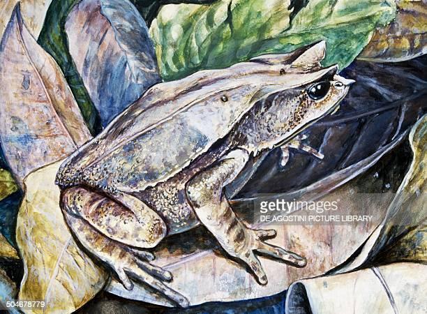 Longnosed horned Frog or Malayan horned Frog Megophryidae drawing