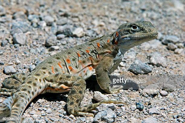 Longnosed leopard lizard shedding skin in the Sonoran desert native to Western United States and northern Mexico