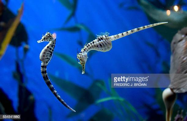 Longsnout seahorses also known as a slender seahorse are seen at the Aquarium of the Pacific in Long Beach California on May 26 during a press...