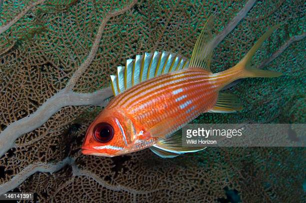 Longspine squirrelfish in front of sea fan Note white triangular marking at tips of dorsal fin spines Holocentrus rufus Curacao Netherlands Antilles...
