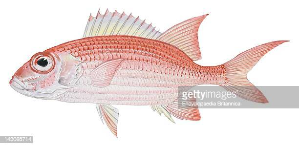 Longspine Squirrelfish Longspine Squirrelfish
