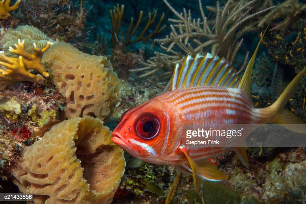 longspine squirrelfish (holocentrus rufus) - squirrel fish 個照片及圖片檔