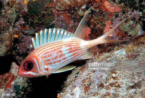 longspine squirrelfish. - squirrel fish 個照片及圖片檔