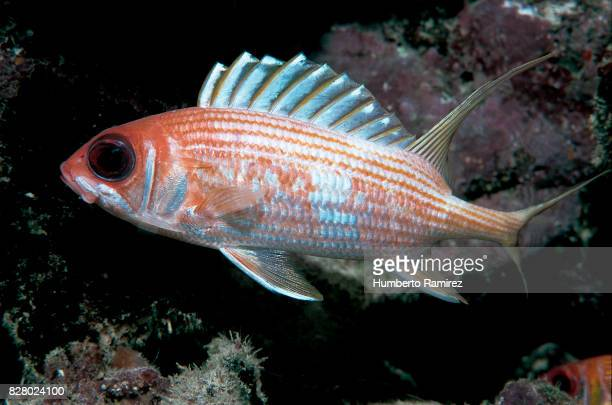 longspine squirrelfish. - squirrel fish stock photos and pictures